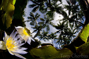 Lilly Under Palms 2 by Tony Cherbas